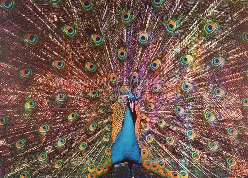 Peacock Oil Paintings 015