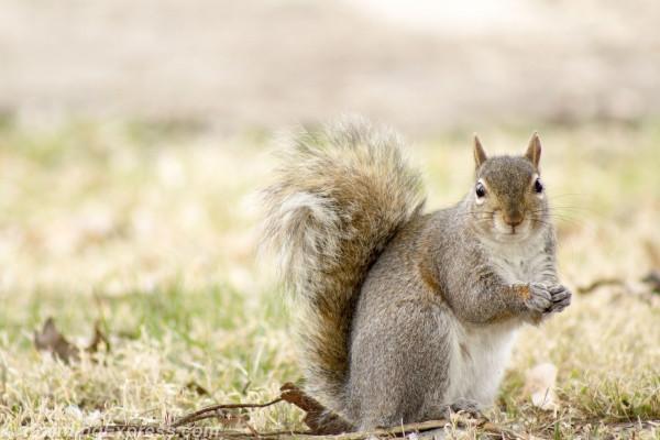 Wild Animal Squirrel Painting Canvas Prints WAP03